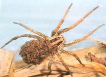 Arachnide ou insecte ?