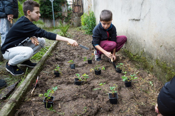 Plantation des fraisiers dans un espace clos