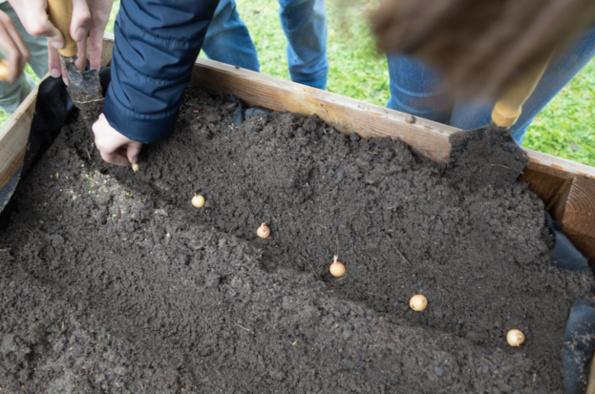 Plantation des bulbes d'oignons et d'échalotes dans un carré sur pieds