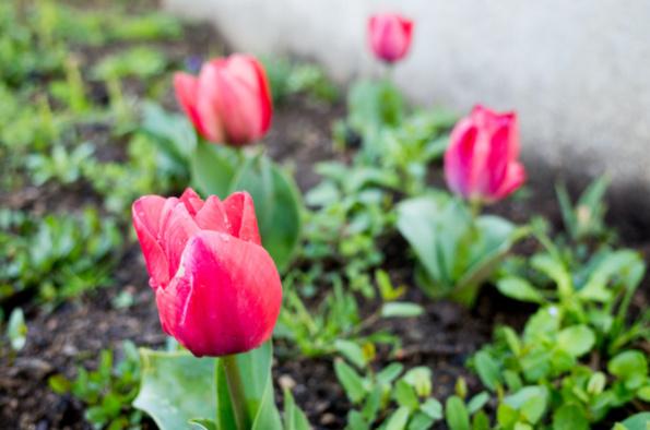 Les premières tulipes !