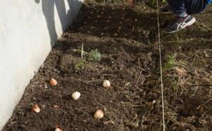 Plantation des bulbes de crocus et de tulipes